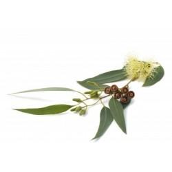Huile Essentielle d'EUCALYPTUS GLOBULUS BIO  plantes sauvages10 ml