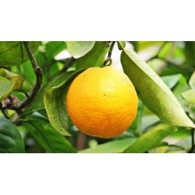 Huile Essentielle d'Orange douce 10ml